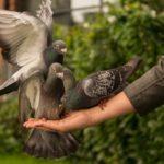 Chováte holuby? A máte kvalitní a dostatečně vyhovující holubník?