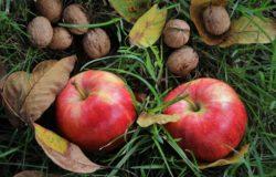V zahrade bio jablka cerstve jablko ovoce